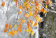 Middletown, New York  - Falling snow sticks to yellow beech tree leaves during a snowstorm on Oct. 29, 2011.