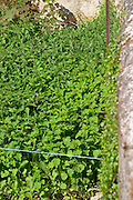 nettle plantation for biodynamic use monthelie cote de beaune burgundy france