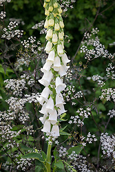 Digitalis purpurea f. albiflora syn. D.'Alba' - White foxglove -growing through Anthriscus sylvestris 'Ravenswing' - Black cow parsley -  in a shady area by a hedge.