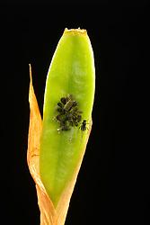 THEMENBILD - Die Röhrenblattläuse oder Röhrenläuse (Aphididae) sind eine Familie der Pflanzenläusen (Sternorrhyncha) und gehören der Überfamilie der Blattläuse (Aphidoidea) an. Sie stellen mit ca. 2.000 Arten die größte Familie der Blattläuse dar. In Mitteleuropa kommen ca. 650 Arten vor. Hier im Bild adulte Roehrenblattlaeuse (Aphididae) auf Bartiris (Iris germanica) aufgenommen am 15.08.2013 // THEMES PICTURE - TAphididae is a very large insect family in the aphid superfamily (Aphidoidea), of the order Hemiptera. There are several thousand species in this family, many of which are well known for being serious plant pests, pictured on 2013/08/15. EXPA Pictures © 2013, PhotoCredit: EXPA/ Eibner/ Michael Weber<br /> <br /> ***** ATTENTION - OUT OF GER *****