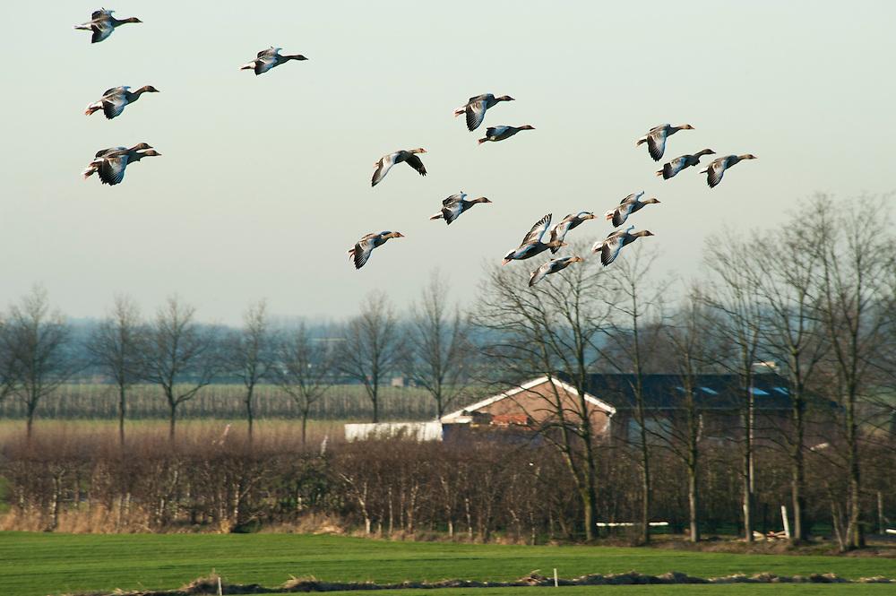 Nederland, Houten, 16 jan 2012.Grouwe ganzen komen aanvliegen en grazen het weiland van boeren kaal. .Foto (c): Michiel Wijnbergh