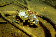 Rusty Crayfish eating a dead fish<br /> <br /> ENGBRETSON UNDERWATER PHOTO