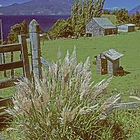 CHILE, Lakes District, Estancia (ranch) beside Lake Llanquihue. Mt.Osorno bkg. Pampas grass fgnd.