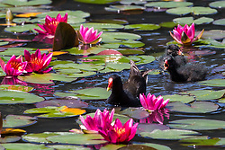 Englefield Green, UK. 27 June, 2019. A young family of moorhens on a warm, sunny June day at the Cow Pond, an ornamental lake gilded with four different types of water lily, coloured white, pink, carmine red and gold, in Windsor Great Park. Temperatures are expected to rise in the south of England before the weekend as the heatwave intensifies still further in much of mainland Europe. The Cow Pond was renovated in 2012 to commemorate the Queen's Diamond Jubilee.