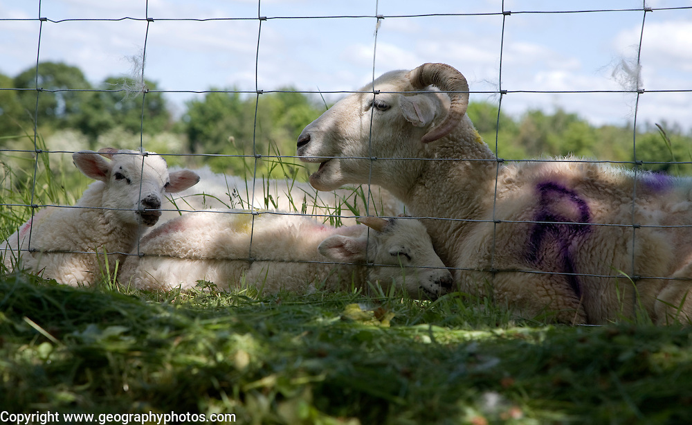 Mother sheep with her baby lambs lying by a wire fence in a field, Suffolk, England