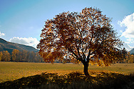 A large maple tree in splendid yellow fall color in the Methow Valley, Washington