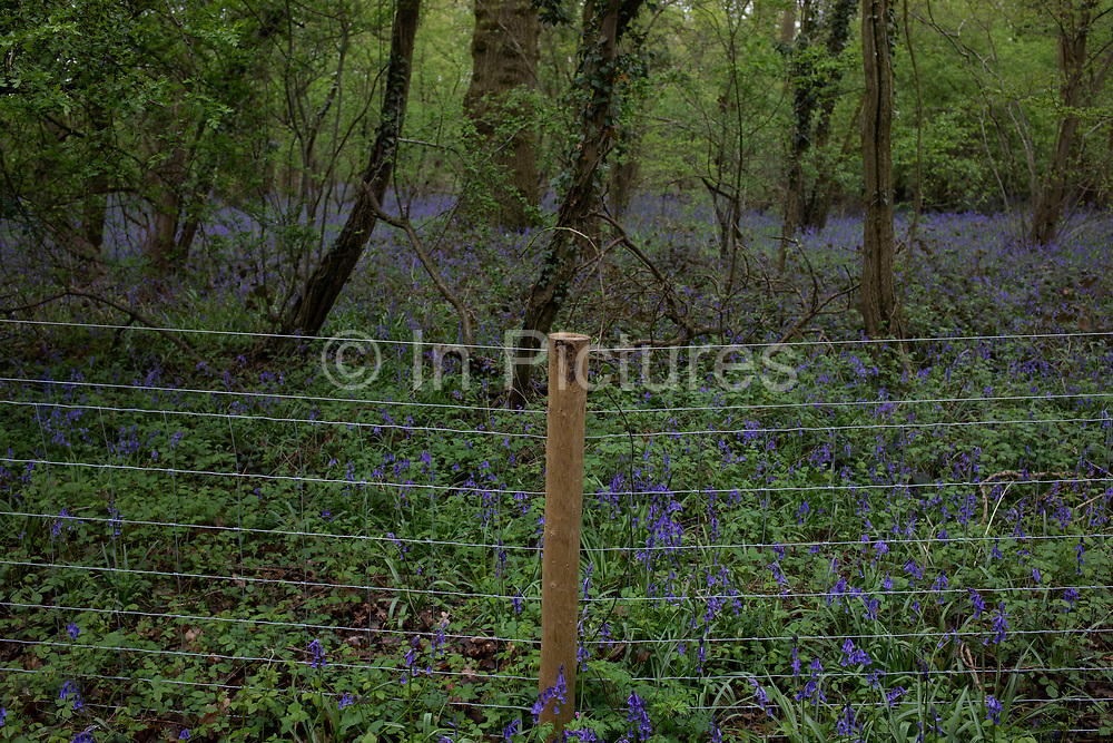 Fenced of area of ancient woodland at risk in the countryside in preparation for the beginning of construction of the HS2 high speed rail link in Ufton, England, United Kingdom. High Speed 2 is a planned high-speed railway which is aimed to be the new backbone of the national rail network, linking the south with the Midlands and furthe north. It is a highly topical and political issue due to the environmental impact for those along the route.
