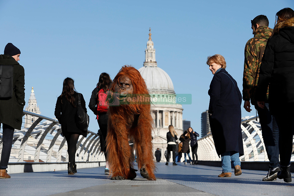 EDITORIAL USE ONLY An ultra-realistic animatronic Orangutan appears on Millennium Bridge in London to highlight the threat to the survival of the species due to deforestation caused by palm-oil production, following IcelandÕs Christmas advert being banned.