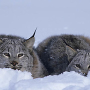 Canada Lynx, (Lynx canadensis) Montana. Portrait of pair in snow in pounce position.Winter.  Captive Animal.
