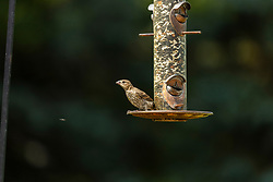 House Finch (Haemorhous mexicanus) - aka Rosefinch