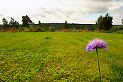 A lawn with a Devil's Bit Scabious Succisa pratensis flower. Blue sky with clouds. Smaland region. Sweden, Europe.