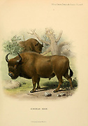 The European bison (Bison bonasus) or the European wood bison, also known as the wisent, or the zubr, is a European species of bison. colour illustration From the book ' Wild oxen, sheep & goats of all lands, living and extinct ' by Richard Lydekker (1849-1915) Published in 1898 by Rowland Ward, London