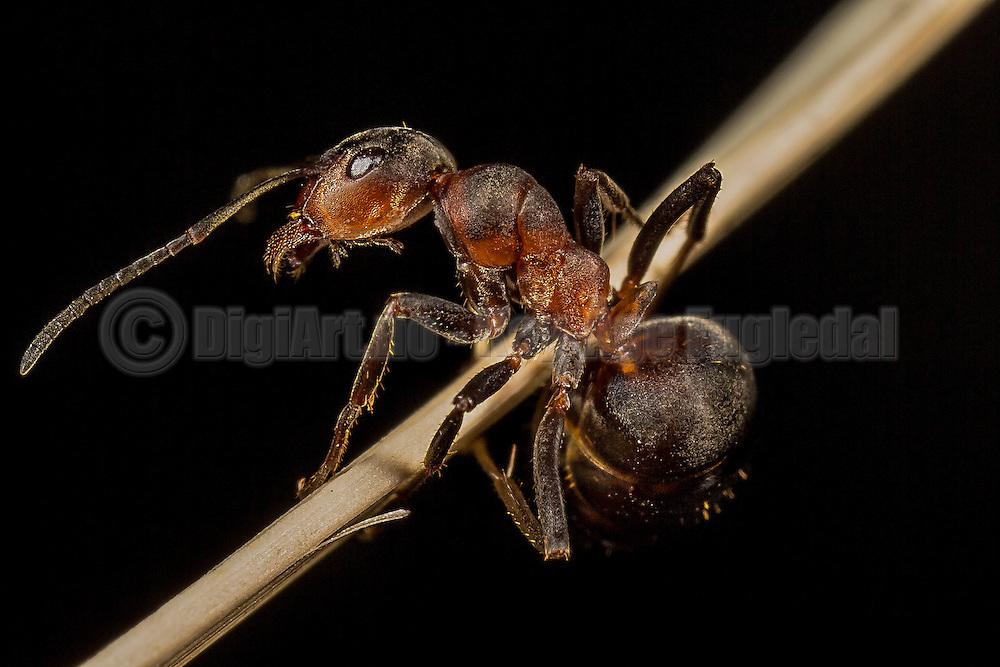 Makrobilde av en maur på et strå | Macropicture of an ant on a straw