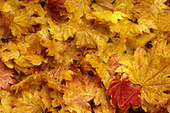 autumn colored Vine Maple (Acer circinatum) leaves scattered on the ground announcing brightly a change in season and the beginning of a dormant season.  Tahoma State Forest in the Washington state Cascade Mountain Range. (lower midtone contrast version)