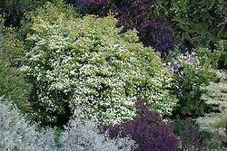 Trees at Glebe Cottage. Cornus 'Norman Hadden', Cornus controversa 'Variegata', Eleagnus 'Quicksilver', Cotinus, Crab apple. Rosa 'Paul's Himalayan Musk'