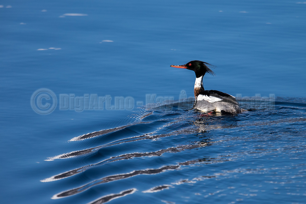 Red-breasted Merganser swiming in the sea | Siland svømmer i sjøen.