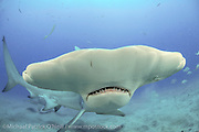 A Great Hammerhead Shark, Sphyrna mokarran, swims offshore Jupiter, Florida, United States, during a shark dive.