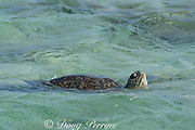 green sea turtle, Chelonia mydas ( Threatened Species ), lifts head to breathe at the primary breeding area for this species in the Hawaiian archipelago, East Island, French Frigate Shoals, Papahanaumokuakea Marine National Monument, Northwest Hawaiian Islands, Hawaii, USA ( Central Pacific Ocean )