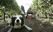 Angus the border collie hangs out in the vineyard. (Alan Berner / The Seattle Times)