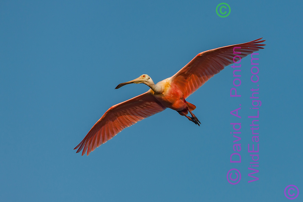 Roseate spoonbill in flight, overhead, © David A. Ponton