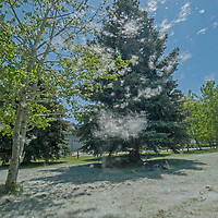 """Seed-laden """"cotton"""" from quaking aspens drifts like snow down on a lawn near Bozeman, Montana."""