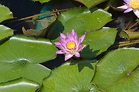 Water lilly - Chi Lin Nunnery, Nan Lian Garden, Kowloon (Diamond Hill), Hong Kong, August 2008. The Nan Lian garden is built on a classical design of the Tang Dynasty, with rocks, ponds, and plantings.   Photo: Peter Llewellyn