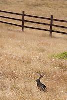 Black-tailed jackrabbit, Lepus californicus, Point Reyes National Seashore, California