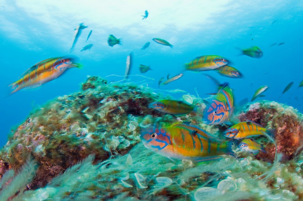 Turkish wrasses, Thalassoma pavo, in movement., Pico, Azores, Portugal<br /> Model release by photographer
