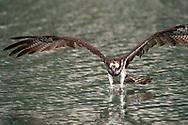 Osprey catching fish, Pandion haliaetus, Bi Tan Bay, Taiwan