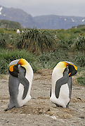 Two sleeping king penguins share a mound are balancing on their back heels and have great symmetry to one another. South Georgia landscape in the background with tussock grass and mountains in the back ground. This is most likely a couple.