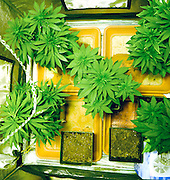 Home Grown Cannabis plants. Skunk marijuana plants (Cannabis sativa) being grown in pots. The leaves and flower heads of this plant contain the psychoactive chemical tetrahydrocannabinol (THC), which when smoked or eaten produces feelings of relaxation, elation and altered perception. Marijuana is an illegal drug in many countries