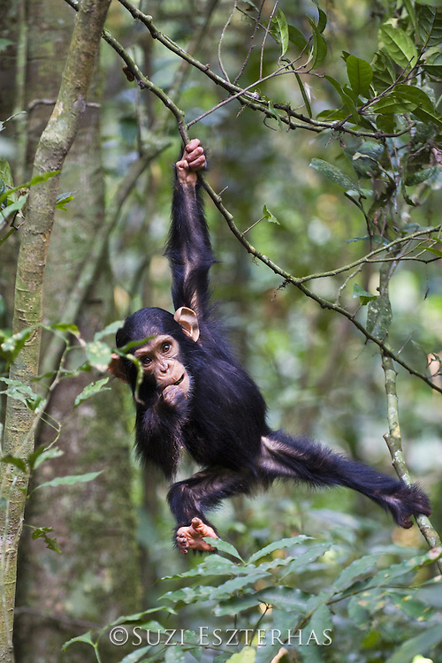 Chimpanzee<br /> Pan troglodytes<br /> 1.5 year old infant playing in tree<br /> Tropical forest, Western Uganda