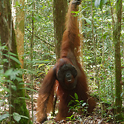 A large male orangutan (Pongo pygmaeus) along a forest trail in Tanjung Puting National Park. Central Kalimantan region, Borneo