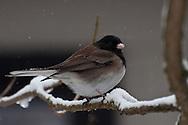 "A male ""Oregon"" Dark-eyed Junco (Junco hyemalis) in winter snow, Seattle, Washington"