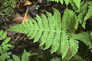 Beech Fern - Thelypteris phegopteris