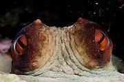 Octopus (Octopus vulgaris) [size of single organism: 50 cm] (Octopoda) | Gewöhnlicher Krake