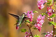An Anna's hummingbird (Calypte anna) feeds on a red flowering currant (Ribes sanguineum).