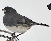 Dark-eyed Junco (Junco hyemalis). Image taken with a Nikon N1V3 camera and 70-300 mm VR lens.