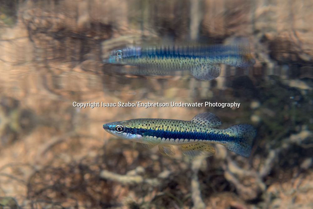 Blackspotted Topminnow<br /> <br /> Isaac Szabo/Engbretson Underwater Photo