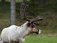 ÖSTERSUND 20210524<br /> Ren som betar på ett fält på Frösön en majkväll.<br /> Foto: Per Danielsson/Projekt.P