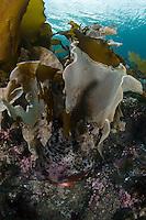Lumpsucker, Cyclopterus lumpus.Atlantic marine life, Saltstraumen, Bodö, Norway