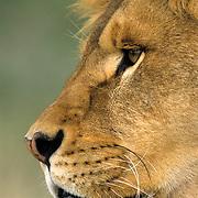 African Lion, (Panthera leo) Close up side portrait of male.  Captive Animal.