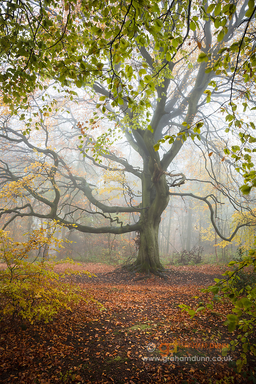 Mist & autumn leaves envelop this magnificent tree above Porter Clough in Sheffield. An atmospheric and colourful scene in South Yorkshire, England, UK.