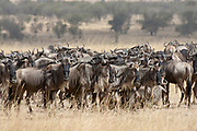 Herd of White-Bearded Wildebeeste  also called Gnu migrate across the plains looking for good grazing.(Connochaetes gnou).Serengeti National Park, Tanzania