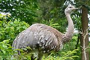 Apenheul is een gespecialiseerde dierentuin aan de rand van de Nederlandse stad Apeldoorn. De tuin ligt midden in het natuurpark Berg & Bos (200 ha). In Apenheul leven apen uit Afrika, Zuid-Amerika en Azië. De dieren leven er heel vrij: gaas of tralies ziet men er bijna niet. Sommige soorten lopen zomaar tussen de bezoekers rond. <br /> <br /> Op de foto:  Darwins nandoe