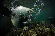 New Zealand fur seal pups (Arctocephalus forsteri) Ohau Stream, New Zealand [size of single organism: 1,2 m] | Junge Neuseeländische Seebär (Arctocephalus forsteri) sammeln sich in der Flußmündung des Ohau Flusses in Neuseeland