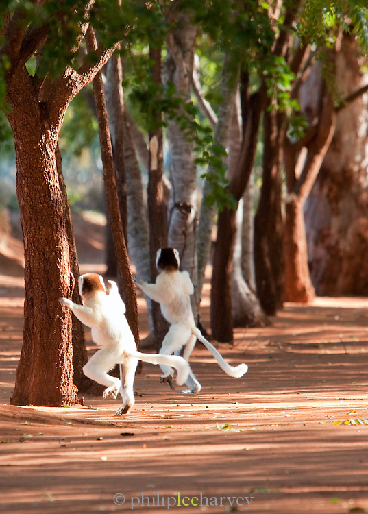 Verreauxs 'Dancing' Sifaka, Berenty Reserve, Madagascar. These Lemurs have evolved to run across groud when tree canopies are too far apart.