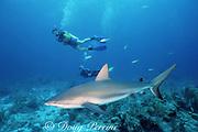 divers and Caribbean reef shark, Carcharhinus perezi, New Providence Island, Bahamas ( Western Atlantic Ocean )