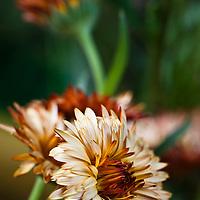 Double-flowered Calendula Flashback series flowers (Calendula 'Antares Flashback')