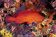 coral grouper, jewel grouper or coral cod; Cephalopholis miniata, Maaya Thila, Ari Atoll, Maldives ( Indian Ocean )